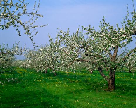 Montérégie「Apple orchard in spring, Rougemont, Monteregie, Quebec, Canada」:スマホ壁紙(6)