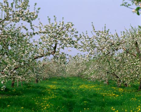 Montérégie「Apple orchard in spring, Rougemont, Monteregie, Quebec, Canada」:スマホ壁紙(2)