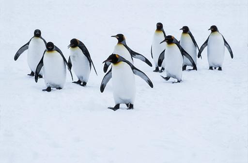 Flock Of Birds「Penquins in Snowstorm」:スマホ壁紙(17)