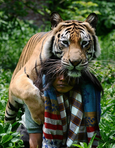 Chicken Meat「Indonesian Man Best Friends With 28 Stone Bengal Tiger」:写真・画像(11)[壁紙.com]