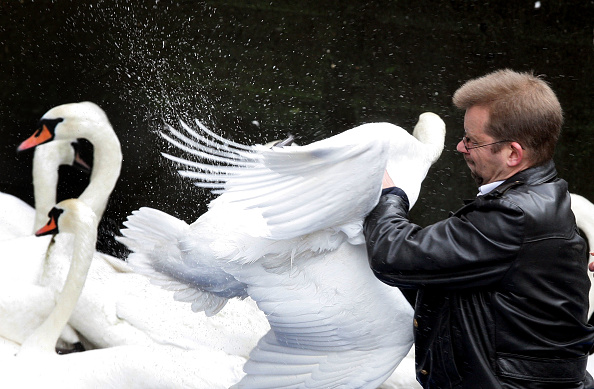 Catching「Swans Are Taken Off The Alster To Their Winter Residence」:写真・画像(14)[壁紙.com]