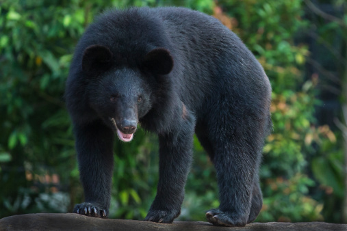 Bear「Asiatic Black Bear」:スマホ壁紙(9)