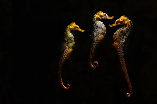 Sea Horse「Three seahorses at the aquarium」:スマホ壁紙(1)