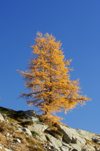 European Larch「European Larch tree (Larix europaea), autumn」:スマホ壁紙(18)