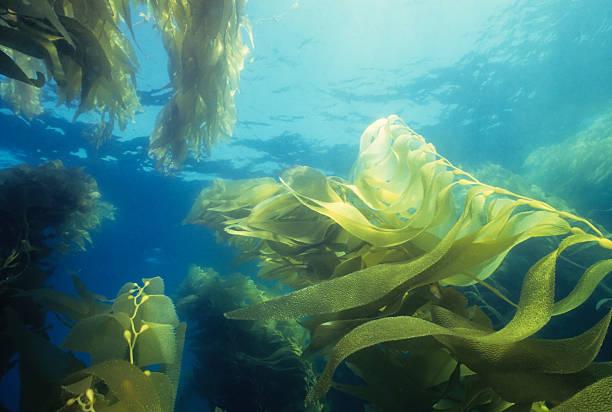 Giant Green Kelp Forest:スマホ壁紙(壁紙.com)