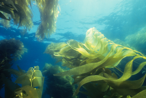 Algae「Giant Green Kelp Forest」:スマホ壁紙(9)