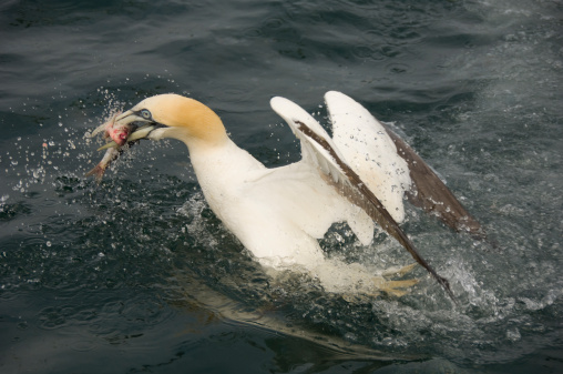 East Lothian「Northern Gannet, Morus bassanus, catching fish, North Berwick, Scotland, UK」:スマホ壁紙(13)