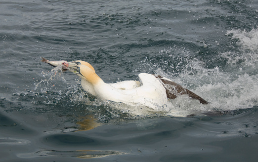 East Lothian「Northern Gannet, Morus bassanus, catching fish, North Berwick, Scotland, UK」:スマホ壁紙(12)