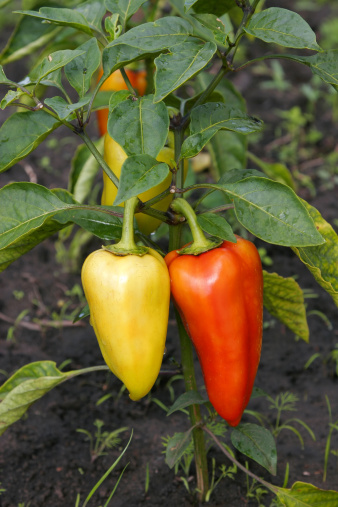 Planting「Bell Peppers: Yellow and Red」:スマホ壁紙(10)