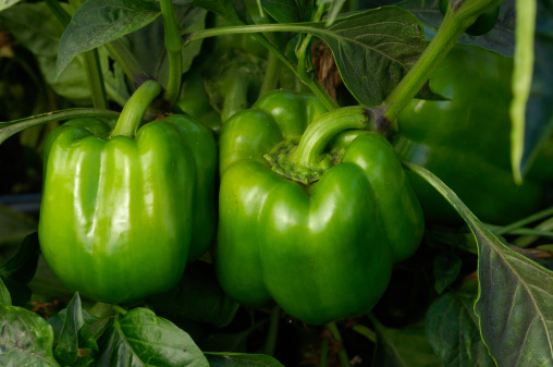 Green Bell Pepper「Bell Peppers Growing in Field」:スマホ壁紙(10)