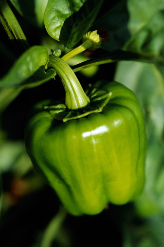 Green Bell Pepper「Bell pepper on vine」:スマホ壁紙(4)