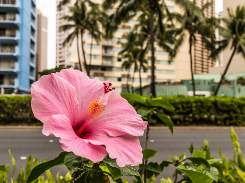 オアフ島「Hibiscus, the state flower of Hawaii, blooming alongside Ala Mona Boulevard, Waikiki」:スマホ壁紙(4)