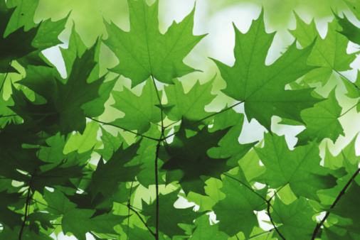 Sugar maple「Sugar maple leaves (Acer saccharum)」:スマホ壁紙(17)