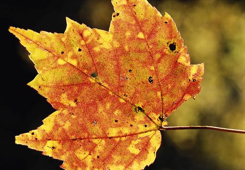 サトウカエデ「Sugar maple leaf (Acer sp.), close-up」:スマホ壁紙(15)
