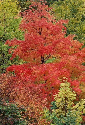 サトウカエデ「Sugar Maple in fall foliage」:スマホ壁紙(7)