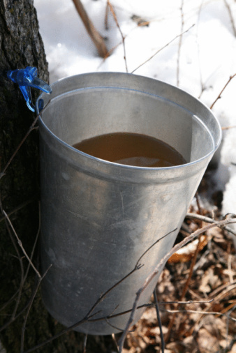 Maple Syrup「Sugar maple pail on tree」:スマホ壁紙(19)