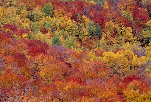 サトウカエデ「Sugar maples in autumn」:スマホ壁紙(9)