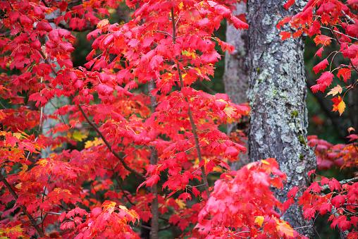 サトウカエデ「Sugar maple in Autumn」:スマホ壁紙(0)