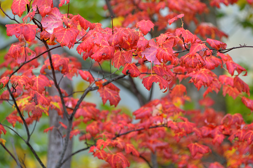 サトウカエデ「Sugar Maple in Autumn」:スマホ壁紙(1)