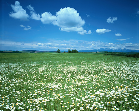 Hokkaido「Meadow with white wildflowers」:スマホ壁紙(17)