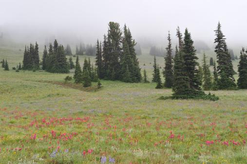 レーニア山国立公園「Meadow 、満開の花」:スマホ壁紙(12)