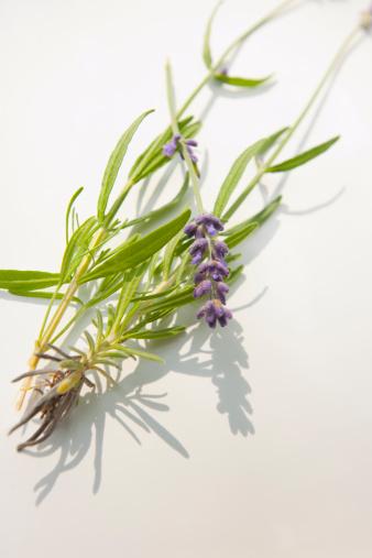 Lavender Color「Munstead flower or lavender」:スマホ壁紙(7)