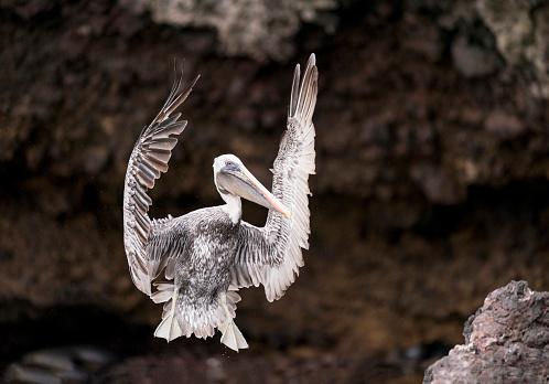ガラパゴス諸島「ペリカン着陸、広がりの翼、ガラパゴス諸島、エクアドル」:スマホ壁紙(5)
