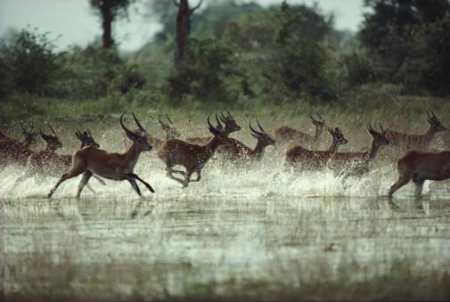 野生動物「Herd of red lechwe (Kobus leche) stampeding across swamp」:スマホ壁紙(4)