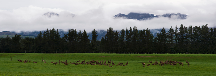 春「A herd of Red Deer hind grazing on a deer farm.」:スマホ壁紙(6)