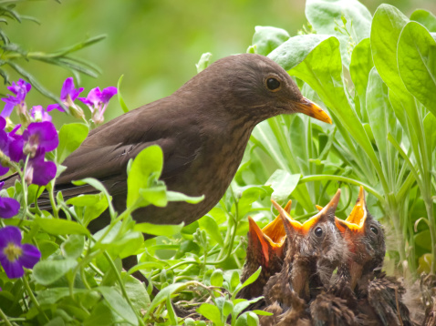 Beak「hungry blackbird babys - 7 days old」:スマホ壁紙(17)