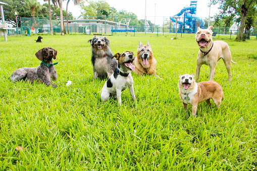 Mammal「Six dogs in a dog park, United States」:スマホ壁紙(9)