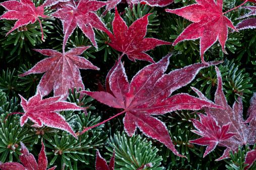 Japanese Maple「Late Autumn frost on Japanese Maple fallen leaves」:スマホ壁紙(8)