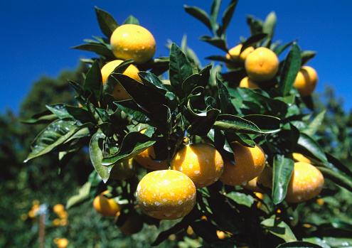 Jeju Island「Sprayed Mandarin Orange Orchard」:スマホ壁紙(3)