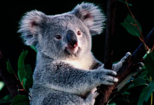 Queensland「Koala at Lone Pine Koala Sanctuary.」:スマホ壁紙(5)