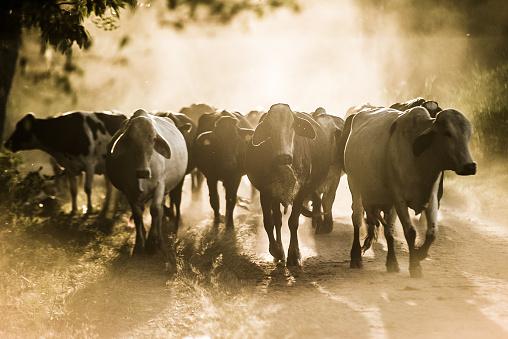 Walking「Cattle on dusty dirt road」:スマホ壁紙(15)