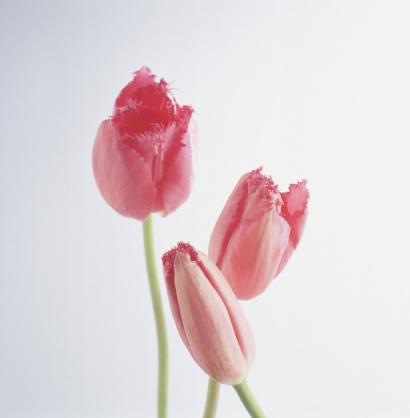 チューリップ「Three pink tulips on white background, (Close-up)」:スマホ壁紙(9)