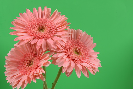 花「Three Pink Gerbera Daisy Flowers; Left Justified; Green Background」:スマホ壁紙(13)