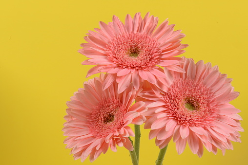 花「Three Pink Gerbera Daisy Flowers; Right Justified; Yellow Background」:スマホ壁紙(14)