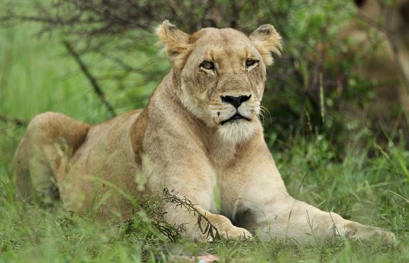 Lion - Feline「Kruger National Park」:写真・画像(5)[壁紙.com]