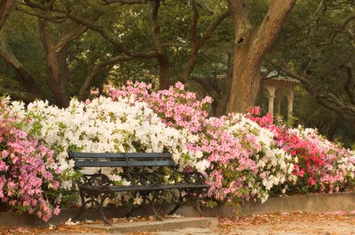 Charleston - South Carolina「Azaleas (Ericaceae sp.) in park」:スマホ壁紙(16)
