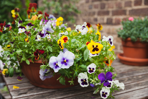 Gardening「Viola on garden-table in flowerpot」:スマホ壁紙(12)