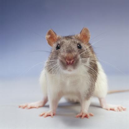 Rat「Rat」:スマホ壁紙(18)