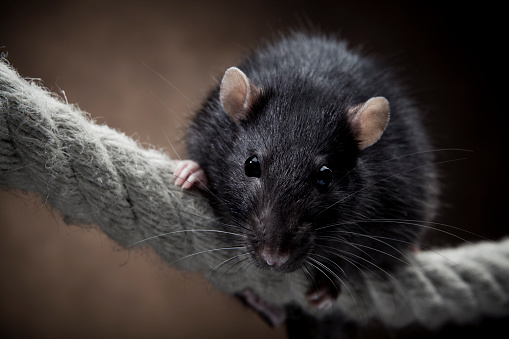 Rat「Rat」:スマホ壁紙(7)