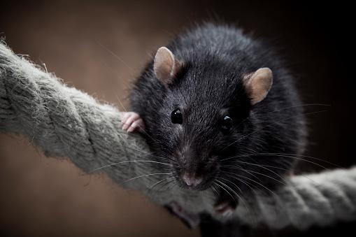 Rodent「Rat」:スマホ壁紙(19)