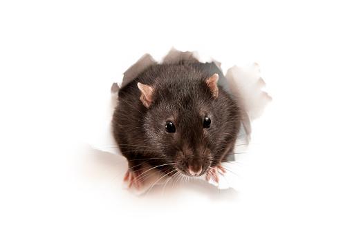 Mouse - Animal「Rat」:スマホ壁紙(10)