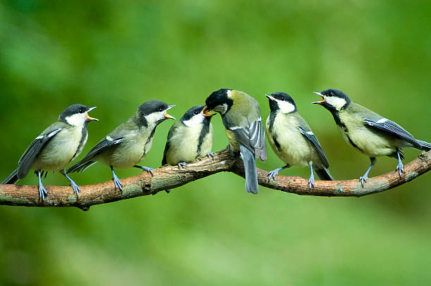 Great Tit family being fed by mother:スマホ壁紙(壁紙.com)