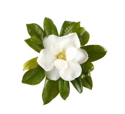 Magnolia「Magnolia」:スマホ壁紙(6)