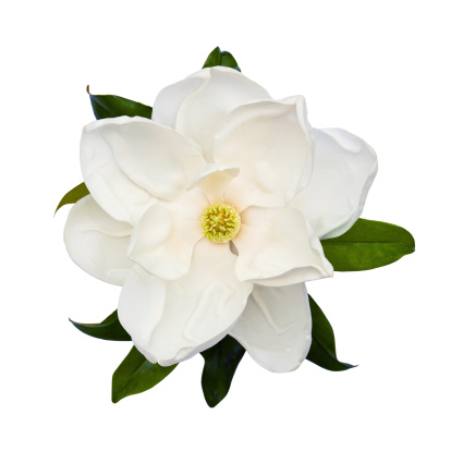 Magnolia「Magnolia」:スマホ壁紙(0)