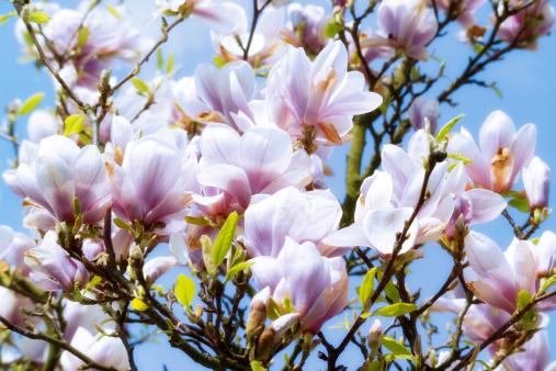 キッチュ「Magnolia」:スマホ壁紙(7)