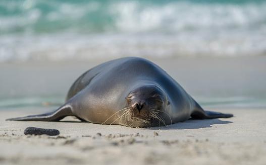 Sea Lion「Sea lion on the beach」:スマホ壁紙(3)